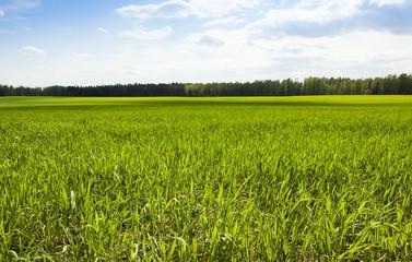 wheat field in spring