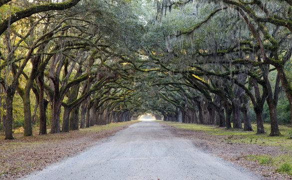 Spanish moss on Oak Avenue, Savannah, Georgia