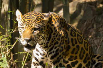 Image of a jaguar on nature background. Wild Animals.