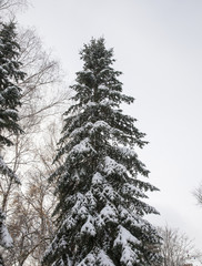 Spruce in the snow