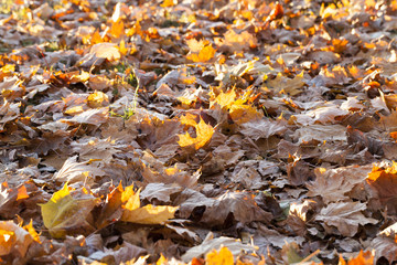 The fallen maple leaves