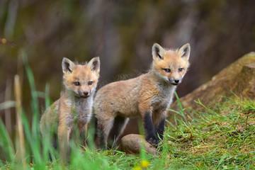 Twin red fox kits watching