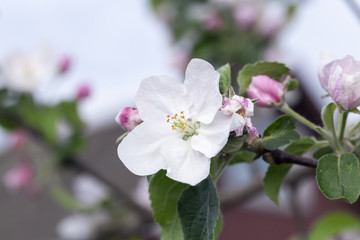 pink apple flowers in May