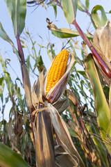 yellowed ripe corn