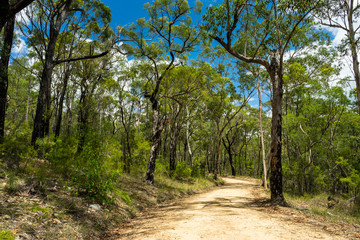 "Blue Mountains Eucalyptus Forest at ""Euroka"" Australia. Sandy path and gnarly, exotic trees."