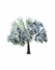 Bismarck Palm tree ( Bismarck Nobilis ) on white