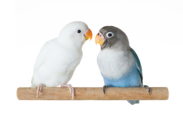 Blue and white parrots lovebird sitting on perch isolated on white background Fotomurales