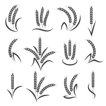 Wheat or barley ears branch isolated on white background. Seeds and grains harvest symbols for logo design. Vector illustration