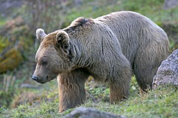 Big Brown Bear walking in meadow, close up