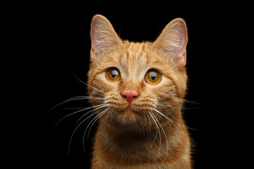 Close-up Portrait of Ginger cat face with interest looking in camera on Isolated Black background, front view