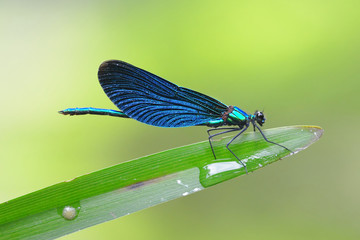 Banded demoiselle dragonfly macro close-up shot against green background