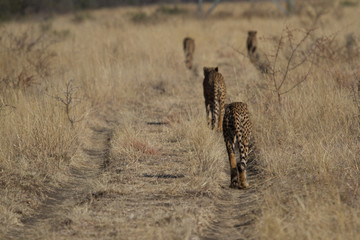 Cheetahs on a hunt, Madikwe Game Reserve