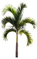 betel palm tree isolated on white,tree isolated on white backgro