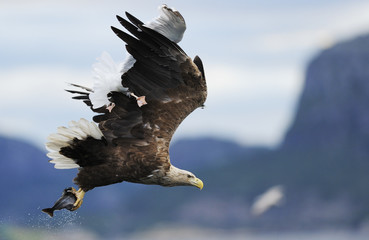 White tailed sea eagle (Haliaeetus albicilla) carrying fish with a Greater black backed gull (Larus marinus) flying above it with feet caught in the eagle's wing, Flatanger, Nord Trøndelag, Norway, August 2008 UNAVAILABLE FOR COMMERCIAL USE WITHOUT PRIOR