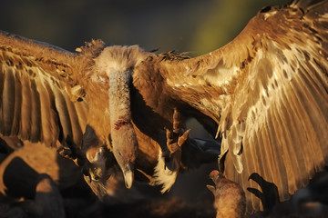 Griffon vulture (Gyps fulvus) landing amongst others, Montejo de la Vega, Segovia, Castilla y Leon, Spain, March 2009