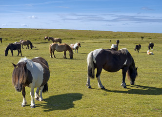 semi-feral herd of Dartmoor pony on a meadow in Cornwall, south west England