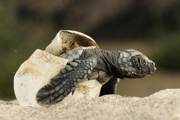 Loggerhead turtle (Caretta caretta) hatching, Dalyan Delta, Turkey, July 2009