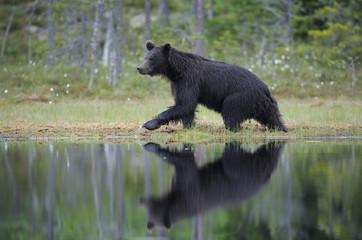 Eurasian brown bear (Ursus arctos) walking at waters edge, Suomussalmi, Finland, July 2008