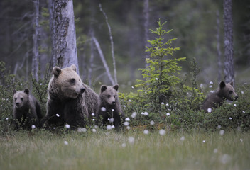 Eurasian brown bear (Ursus arctos) with three cubs, Suomussalmi, Finland, July 2008