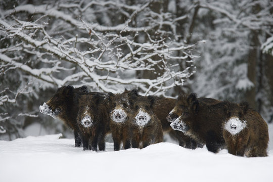 Wild boar (Sus scrofa) herd with snow covered noses from feeding, Alam-Pedja Nature reserve, Estonia