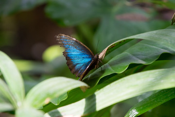 blue butterfly on green leaf sunny outdoor