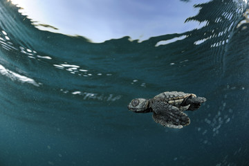 Loggerhead sea turtle (Caretta caretta) hatchling swimming out into the sea, Turkey. July.