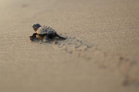 Loggerhead sea turtle (Caretta caretta) hatchling walking towards the sea on beach, Turkey. July.