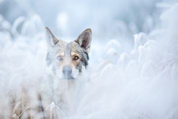 Wolfdog in winter nature