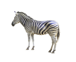 Keuken foto achterwand Zebra Zebra isolated