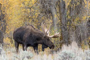 Rutting Bull Moose in Teton National Park Wyoming in Fall
