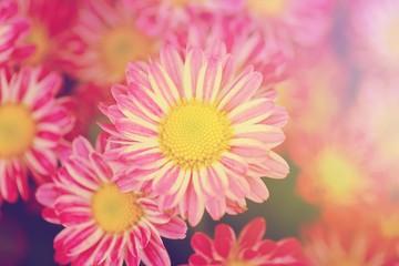 the blooming of Chrysanthemum flowers