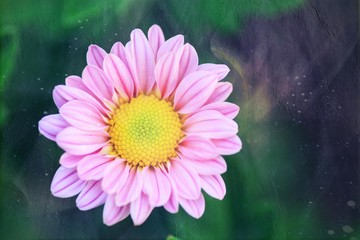 the Chrysanthemum is blooming in the garden in closeup