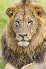 Lion (Panthera leo). KwaZulu Natal. South Africa