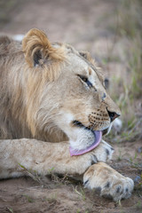 Lion (Panthera leo) grooming itself. KwaZulu Natal. South Africa