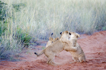 Lion (Panthera leo) cubs playing. Northern Cape. South Africa.