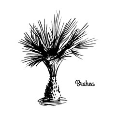 Vector sketch illustration. Black silhouette of Brahea Palm isolated on white background. Tropical flora. Tree that native to Central America and Mexico.