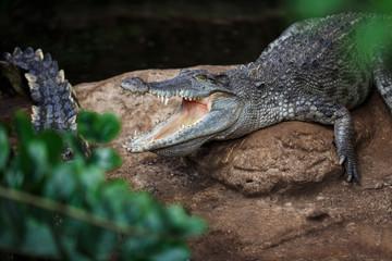 The crocodile closeup