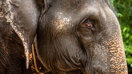 A close-up of an Asian elephant at Angkor Wat, Cambodia.