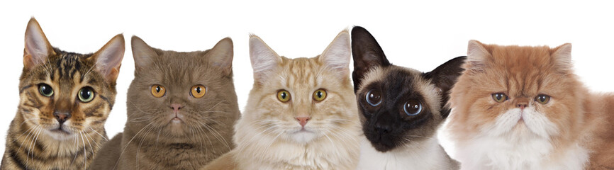 Katzengruppe querformat mit fünf Katzen köpfen