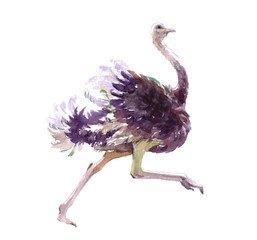 Watercolor realistic ostrich animal isolated on a white background illustration.