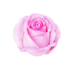 Pink rose isolated on white background and water drop, clipping