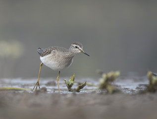 Wood Sandpiper in a lake