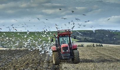 A farm tractor ploughing a field in autumn surrouned by feeding gulls