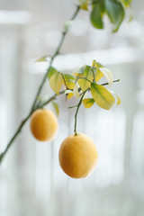 Colorful lemon tree branch with two yellow lemons and green leaves in background, toned with filters, blurry background