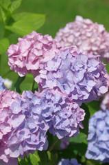 Hortensie rosa-flieder