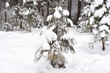 Pine tree forest at winter.