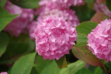 Hortensie rosa 2