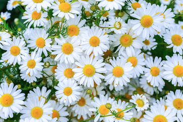 Masses of daisies in the summer garden.