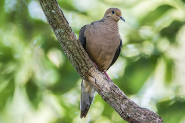 Dove On A Branch