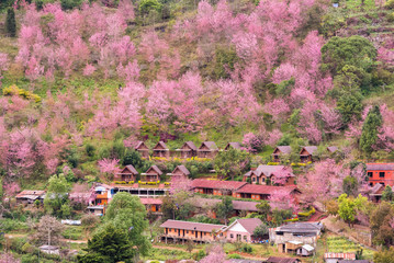 Blooming sakura trees in Doi Ang Khang village, Northern Thailand.